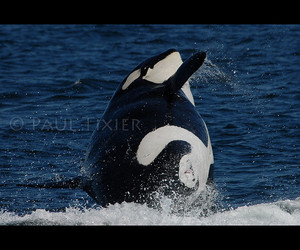 killer whale, pregnant, and golddragon image