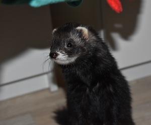 ferret, furet, and furão image