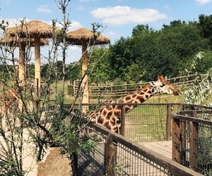 giraffe, sun, and zoo image