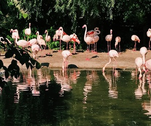 flamingo, water, and zoo image