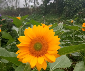aesthetic, flower, and sunflower image