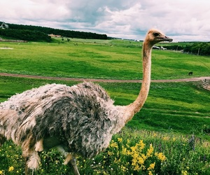 animal, nature, and ostrich image
