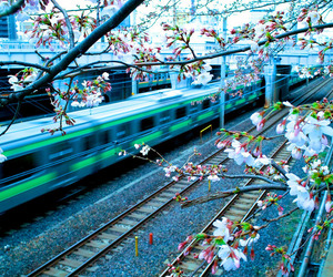 japan, cherry blossom, and sakura image