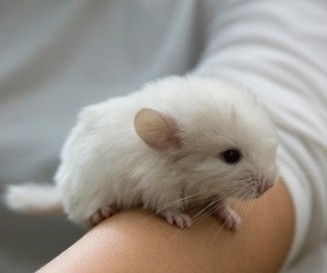 cute, animal, and Chinchilla image