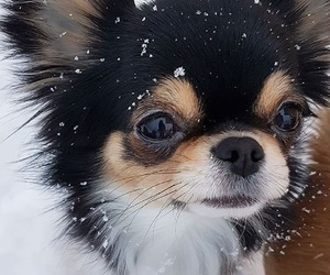 chihuahua, snow, and cute image