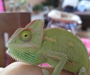 animal, baby animal, and chameleon image