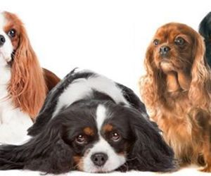 cavalier king charles spaniel and the cavalier king image