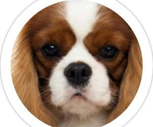 cavalier king charles spaniel, the cavalier king, and the cavalier king twitter image