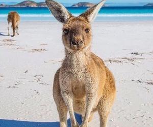 kangaroo, animal, and beach image
