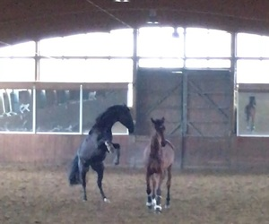 equestrian, horse, and free image