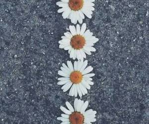 daisy, flores, and flowers image