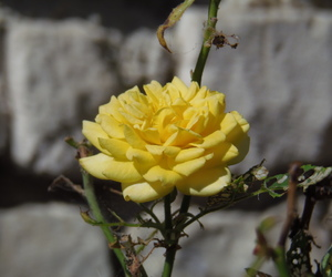 flower, roses, and yellow image
