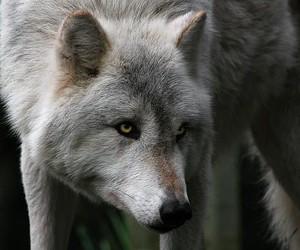 Animales, lobo, and mirada image