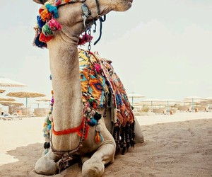 camel, desert, and egypt image