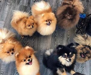 animals, dog, and pomeranian image