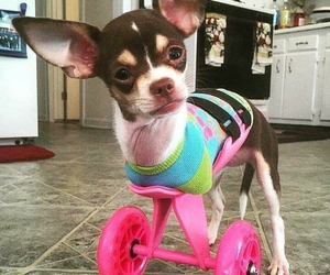chihuahua, handicap, and legs image