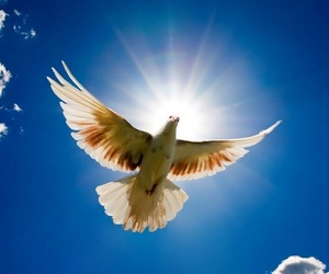 bird, dove, and peace image