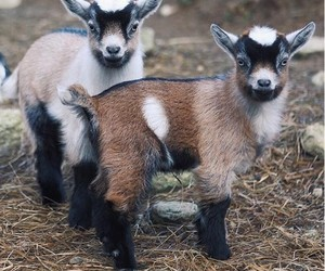 animals, goat, and cute image