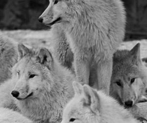 wolf, animal, and beautiful image