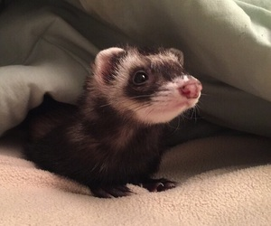 ferret, animal, and baby image