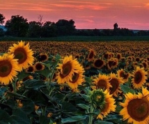 flowers, pretty, and sunflower image
