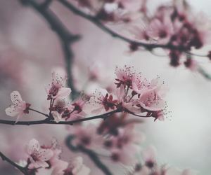 beautiful, blossom, and cherry blossom image