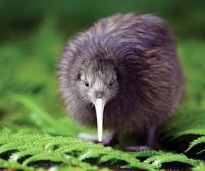 bird, kiwi, and flightless image