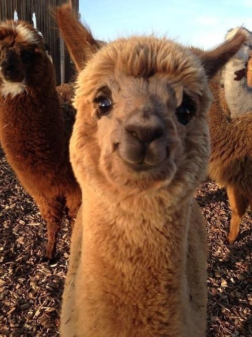 animal, cute, and alpaca image