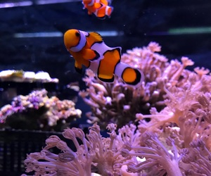 aesthetic, clownfish, and coral image
