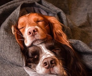 adorable, brown, and dogs image