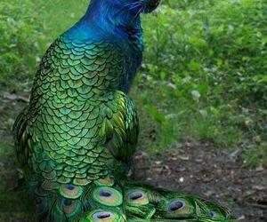 animal, peacock, and bird image