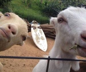 animal, goat, and random image