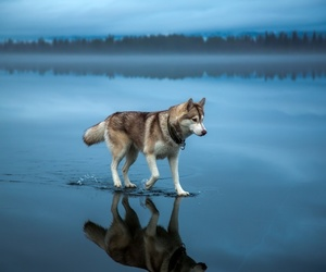dog, wolf, and animal image