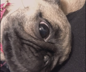 beautiful, pets, and puglife image