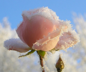 rose, flowers, and snow image