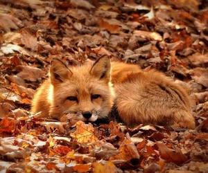 fox, autumn, and fall image