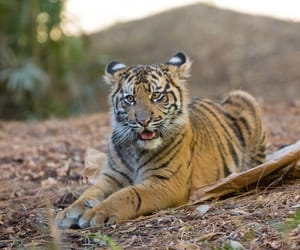 baby tiger, tigris, and fantastic nature image