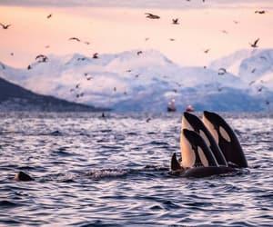 orca, killer whale, and animal image