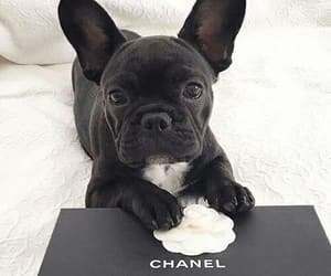 chanel, animal, and dog image