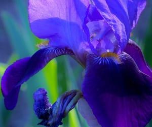 flowers, iris, and purple image