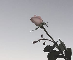 rose, flowers, and moon image