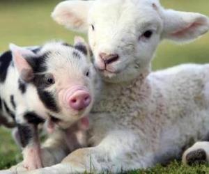 animals, mini pig, and minipig image