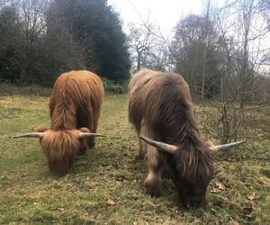 highland cattle image