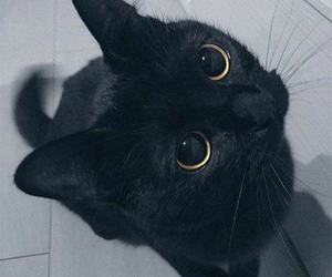 cat, black, and animal image