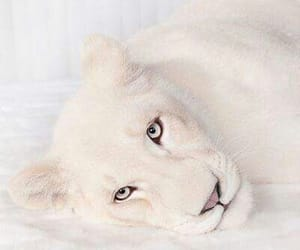 animal, white, and lion image