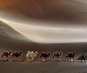 animals, brown, and camels image
