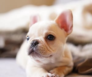 adorable, animals, and bulldog image