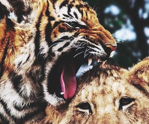 tiger and lion image