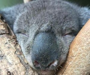 animal, Koala, and sleep image