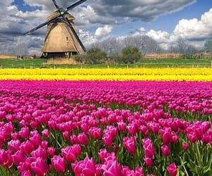 flowers, tulips, and holland image